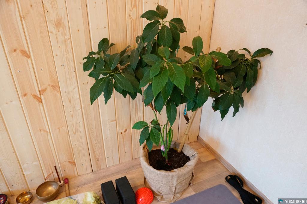 Авокадо дома в горшке